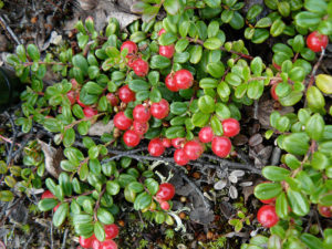 partridgeberry, berry, newfoundland,, plant