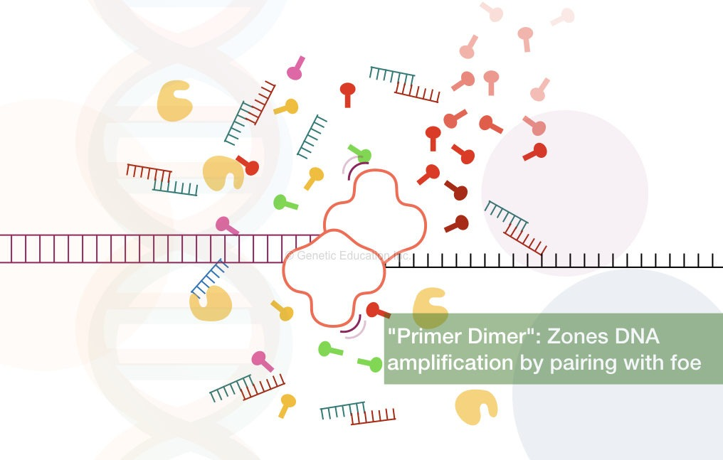 """""""Primer Dimer"""": Zones DNA amplification by pairing with foe"""