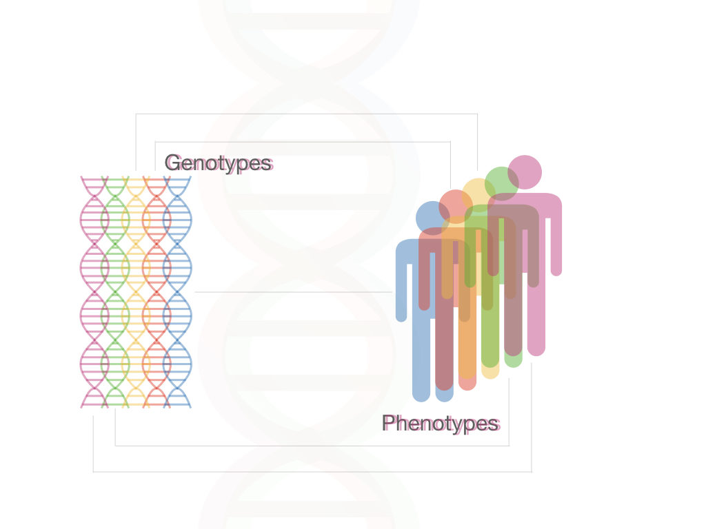 The explanation of genotype and phenotype