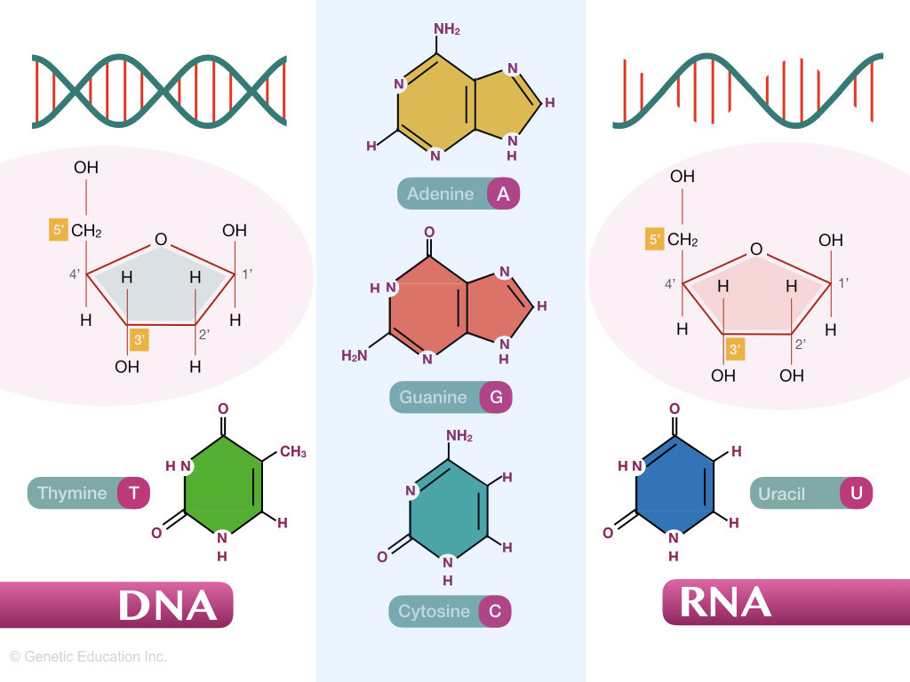 Differences between DNA and RNA.