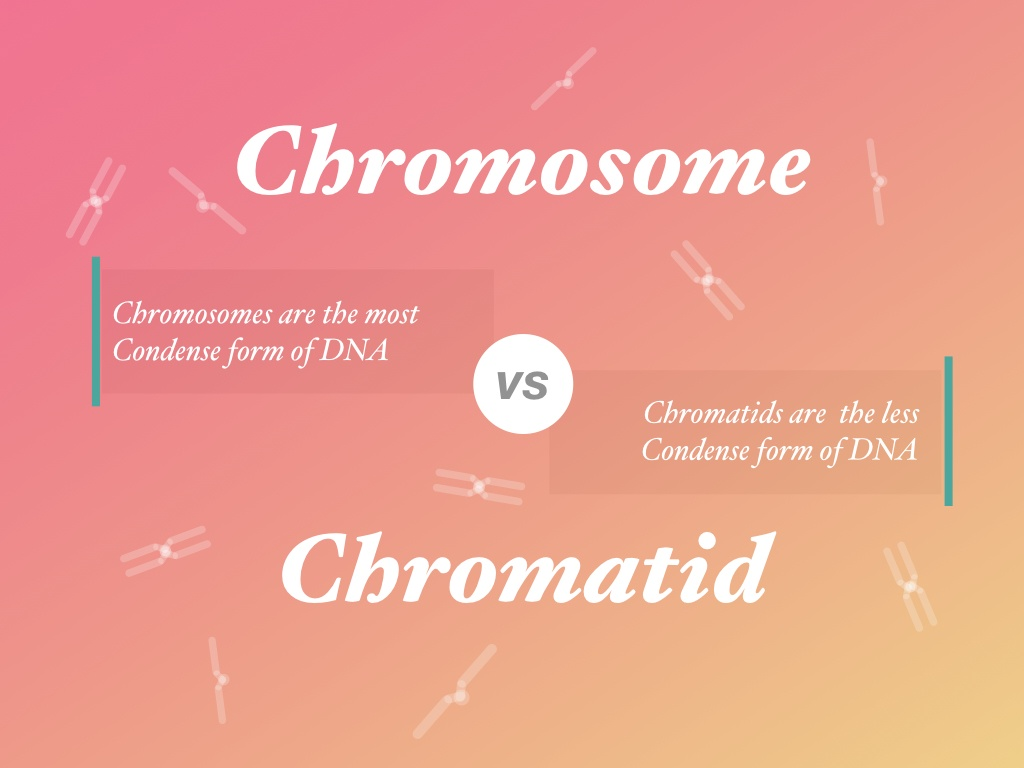 Difference between chromosome vs chromatid.