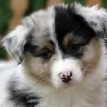 Dog-Shepherd-Husky-th