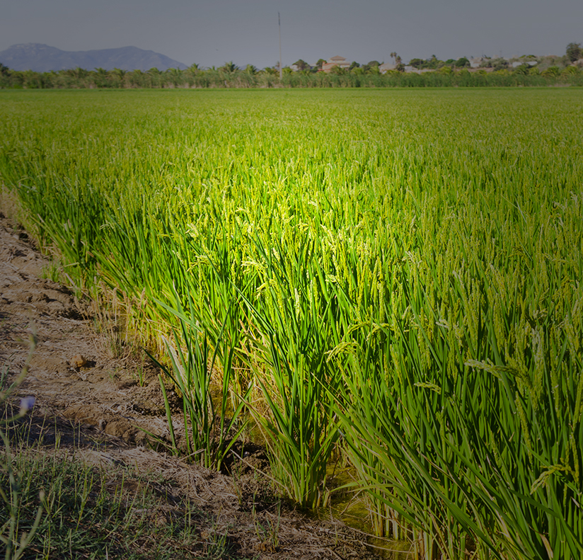 Strengthening the American Rice Industry