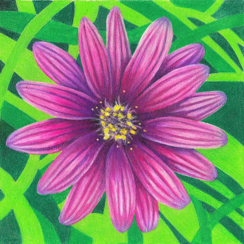 Coloured Pencil Course Sunshine Coast - African Daisy