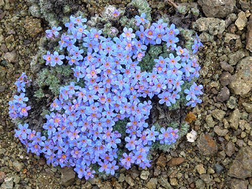 Forget Me Nots in June, Port Alsworth, Alaska, ©2011 John B. Branson. Used with permission. All rights reserved.