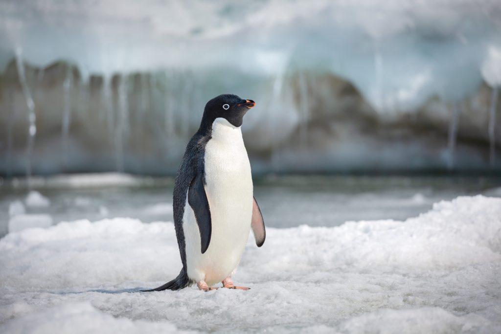 Penguins - Steve