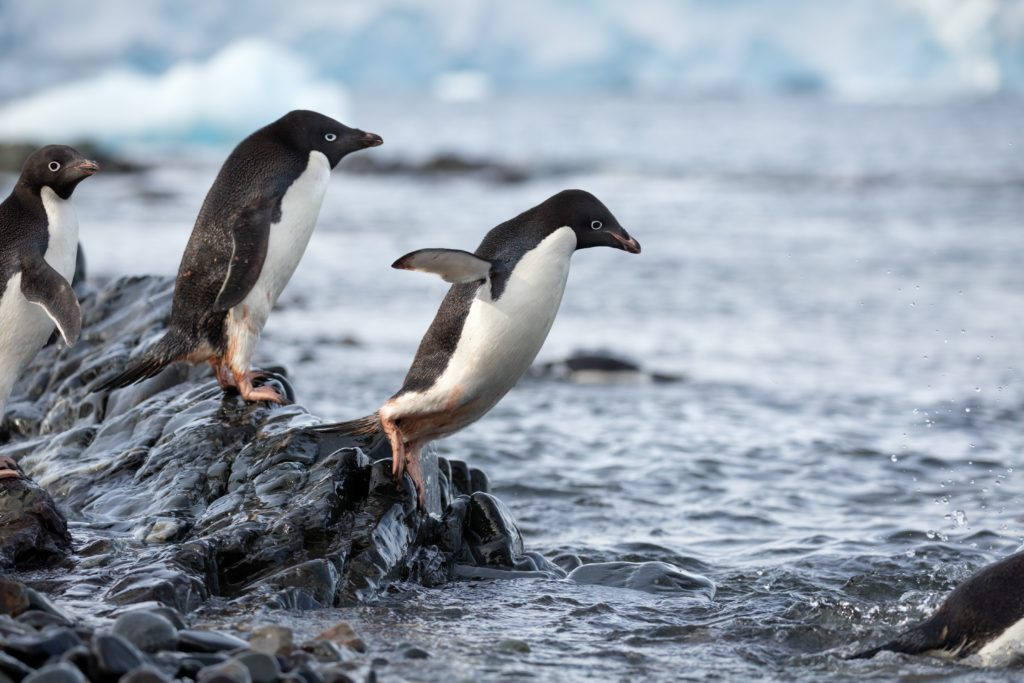Penguins - Steve Diving