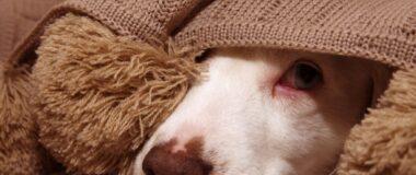 Anxious-puppy-hiding-under-blanket