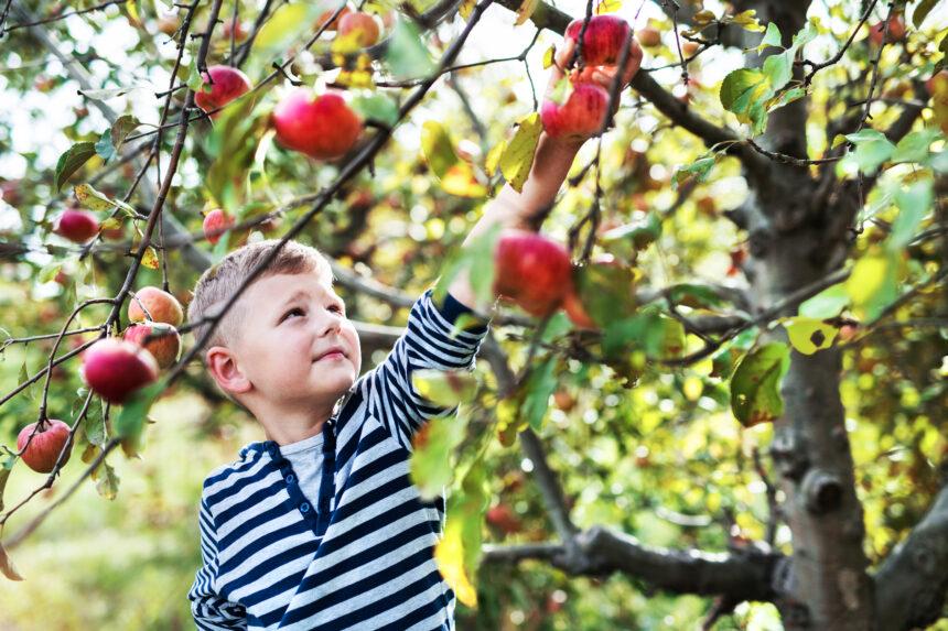 September Apple Picking
