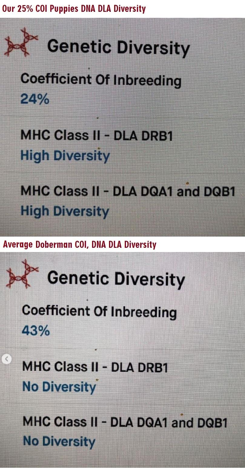 European Doberman Diversity