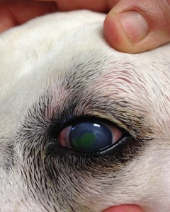 Lilly's eye - the green stain shows the corneal ulcer.