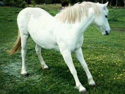 Fig1-Founder_Laminitis_in_Horse