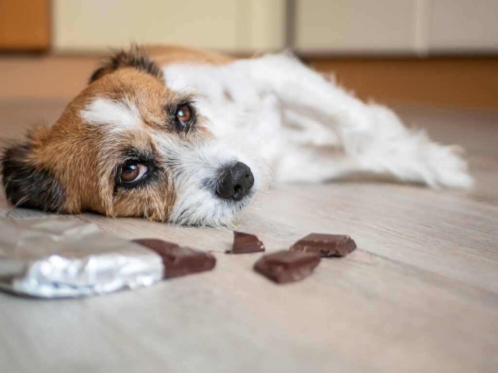 A dog that eats chocolate suffering chocolate toxicity and feeling very unwell.