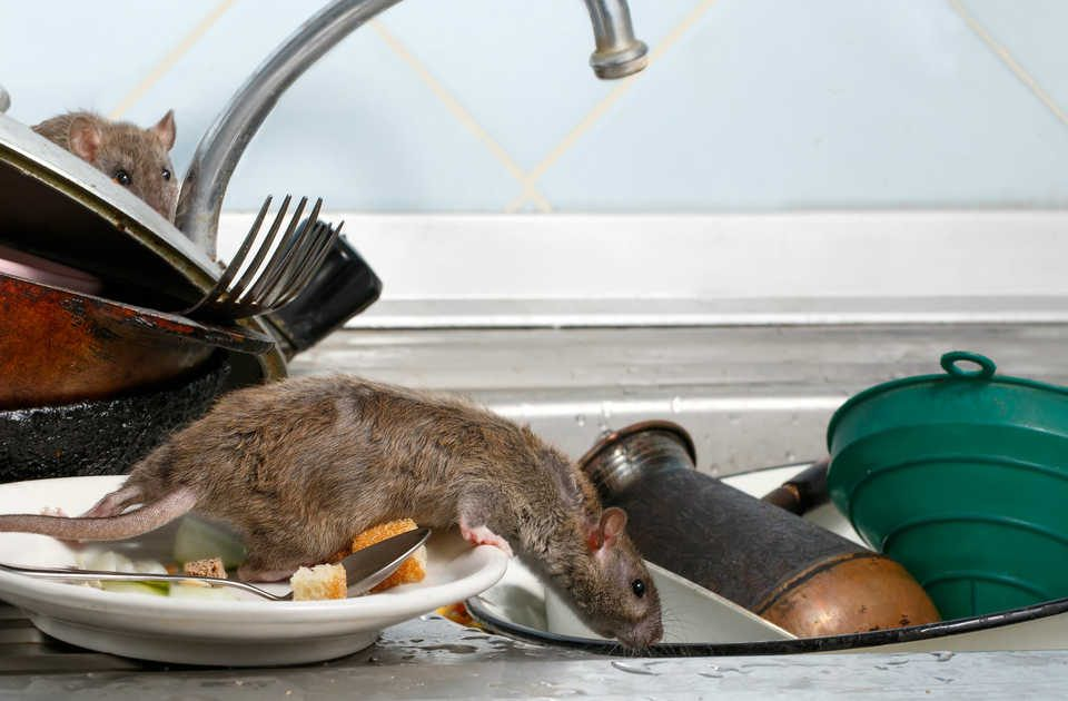 Rodent infestation in a restaurant