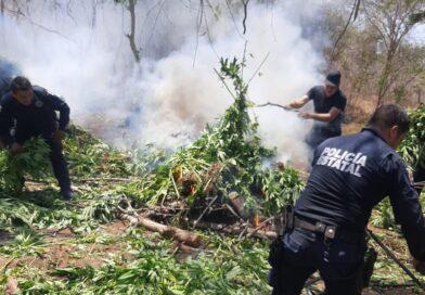 A través de sobrevuelos, Policía Estatal localiza plantío d mariguana en Mazatlán