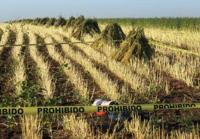 Muere mujer entre los surcos de una parcela de ajonjolí en Mocorito