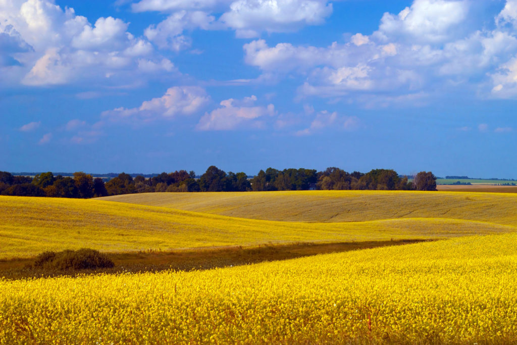 A landscape of yellow field and blue sky in Sweet Idaho