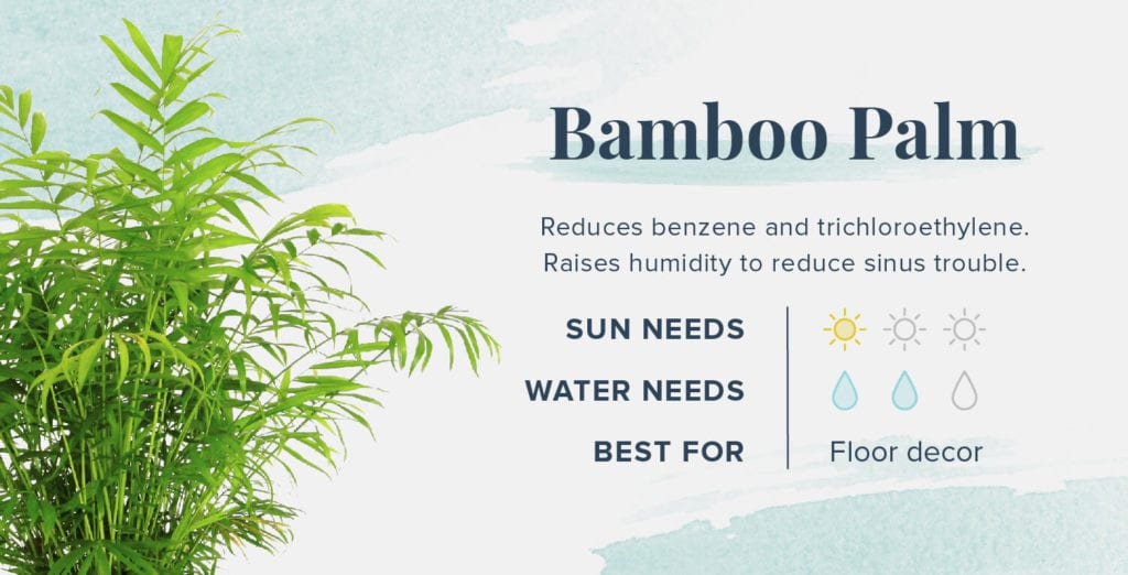 Plants That Help You Sleep Better - Bamboo Palm