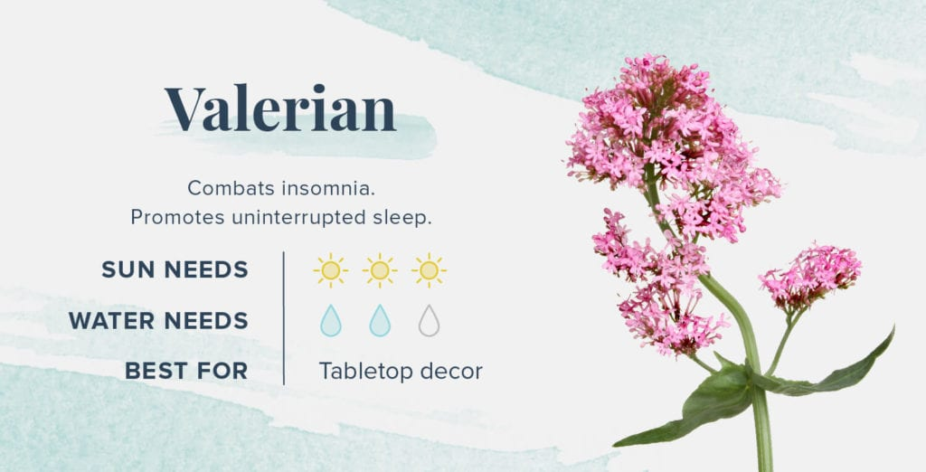 Plants That Help You Sleep Better - Valerian