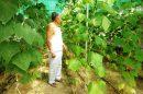 जायका ने पाँच गुणा बढ़ाई बडसाला के किसानों की आय