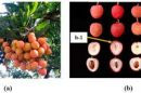 HAU's fruit-piercing machine gots patent from Govt of India