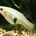 Gambusia fish controls the spread of malaria and dengue in Chandigarh.