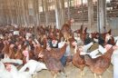 Vet Varsity issues advisory for Poultry farmers, handlers and consumers