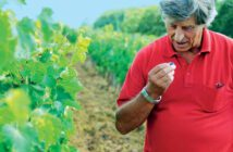 Piero Masi checking the grapes for ripeness at Fratelli Vineyards