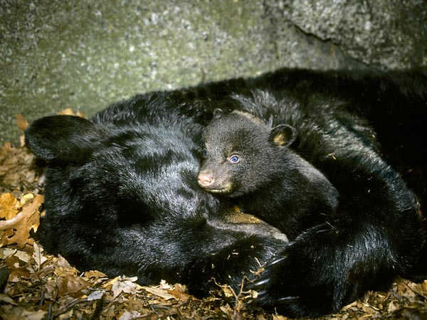We don't hibernate like bears, but like them we produce more melatonin in the winter which can slow metabolism, and make us sleepy.