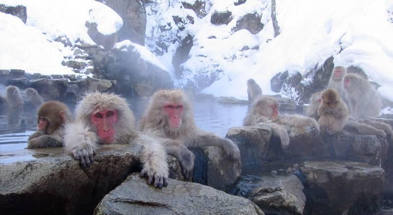 Nagano Onsen Monkeys