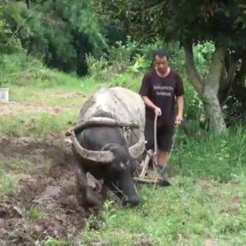 เกษตรกรรุ่นใหม่ที่มหาสารคาม พอเพียงตามรอยพ่อ ใช้ควายไถนาแทนเครื่องจักร