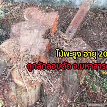 ไม้พะยูง200  ปี ถูกบุกรุกลักลอบเข้าตัดไม้ในเขตโรงเรียน จ.มหาสารคาม