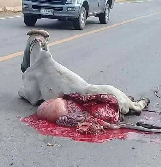 สลดใจทั้งโซเชียล!! วัวสาวถูกรถเกี่ยวข้าวชน หนังหลุด อวัยวะภายในออกมากองเต็มถนน