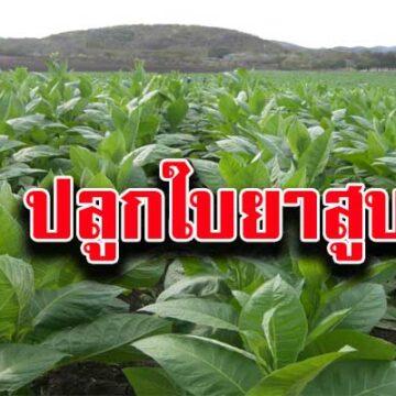 ตัวแทนเกษตรกรปลูกใบยาสูบ ขอชะลอขึ้นภาษีบุหรี่!!