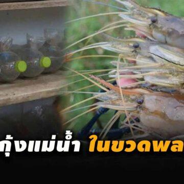 """""""เลี้ยงกุ้งแม่น้ำในขวดพลาสติก"""" ใช้ทุนน้อย ไม่เปลืองพื้นที่ รายได้ดีถึงหลักแสน"""