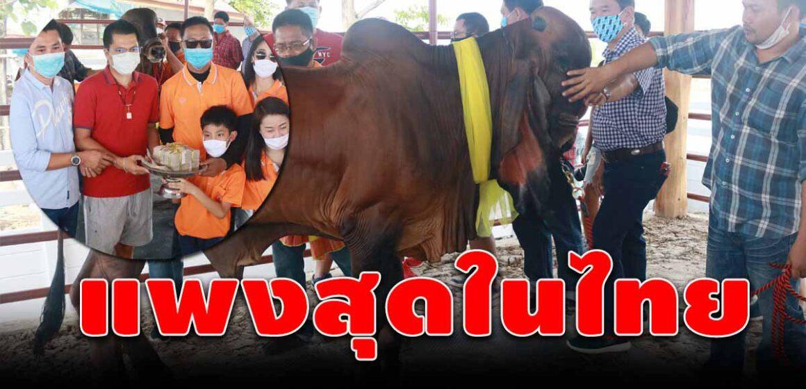 ฮือฮา! ปลัดโหนกควักกว่า 2 ล้านซื้อวัวฮินดูบราซิล แพงสุดในประเทศไทย