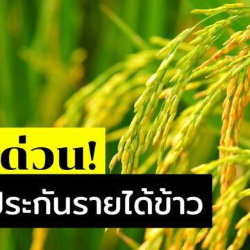 ประกันรายได้ข้าว เตือนเกษตรกรรีบตรวจสอบสิทธิ ด่วน!