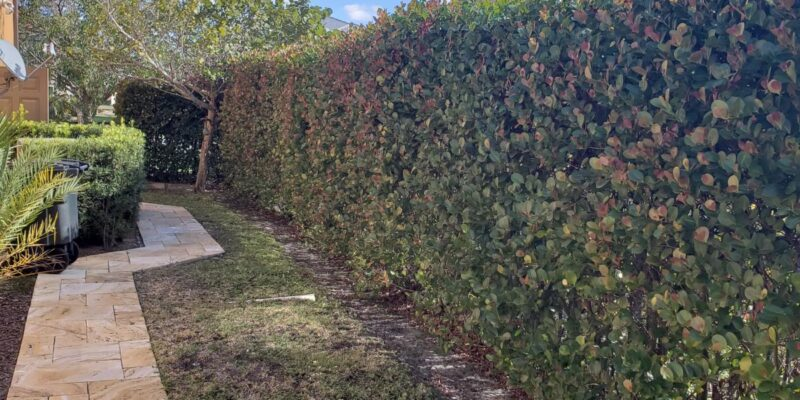 Cocoplum Hedge