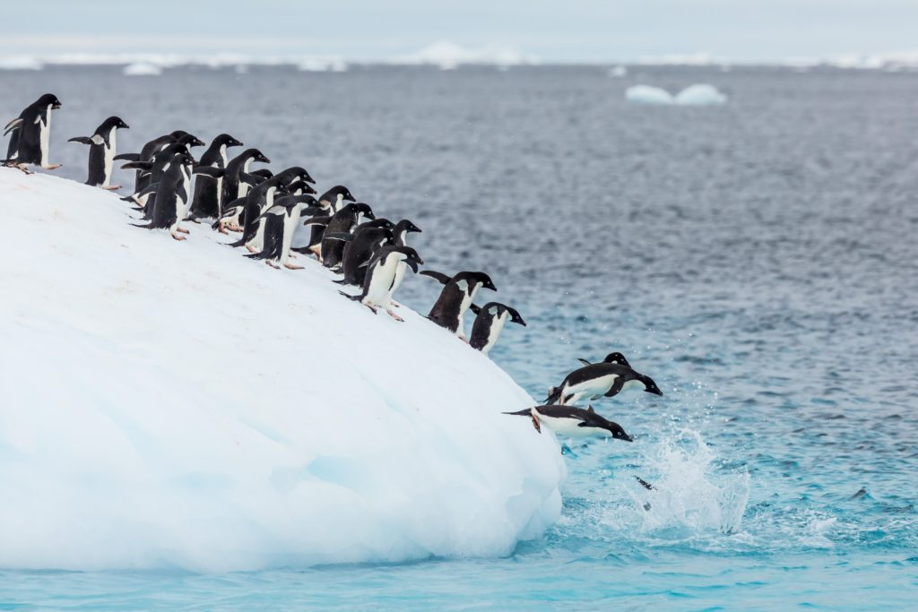 Penguins - Flock Diving