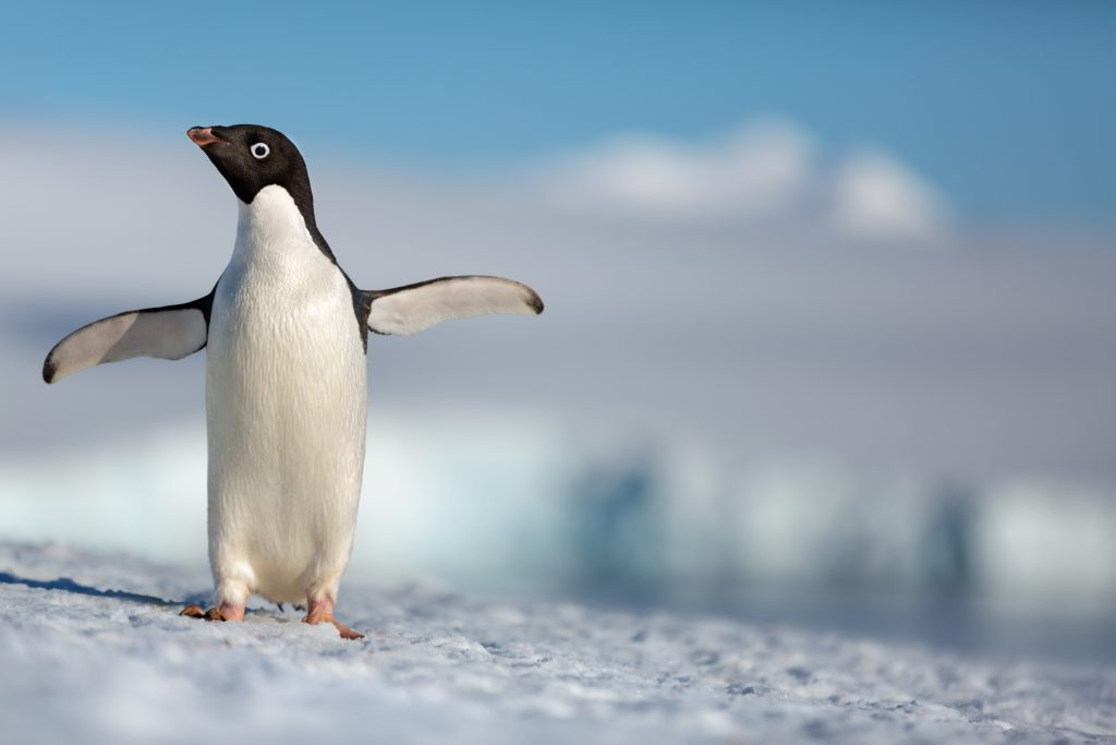 Disneynature - Penguins - Steve