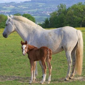 A mare with her foal after breeding.