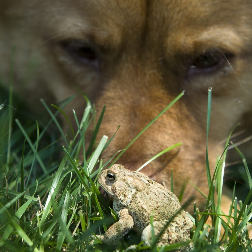 Cane toads can kill dogs. Know the signs and first aid steps to help your dog if poisoning occurs.