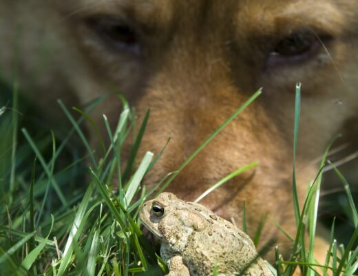 Why are cane toads dangerous to dogs. Know the signs of cane toad poisoning.