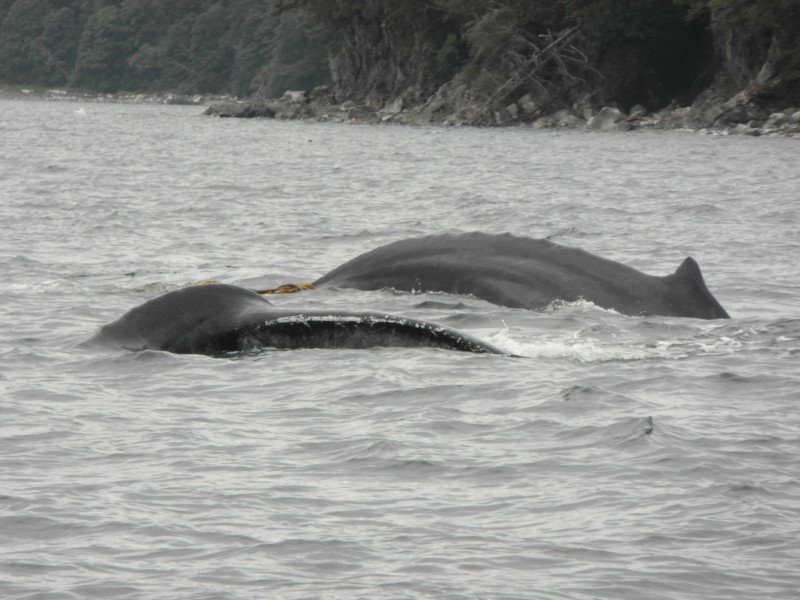 Whale parents circling our boat to protect their calf! - near Juneau Alaska