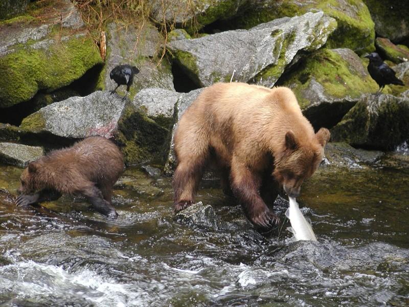 Brown Bears fishing for salmon in Tongass forest near Ketchikan Alaska (photo fs.usda.gov)