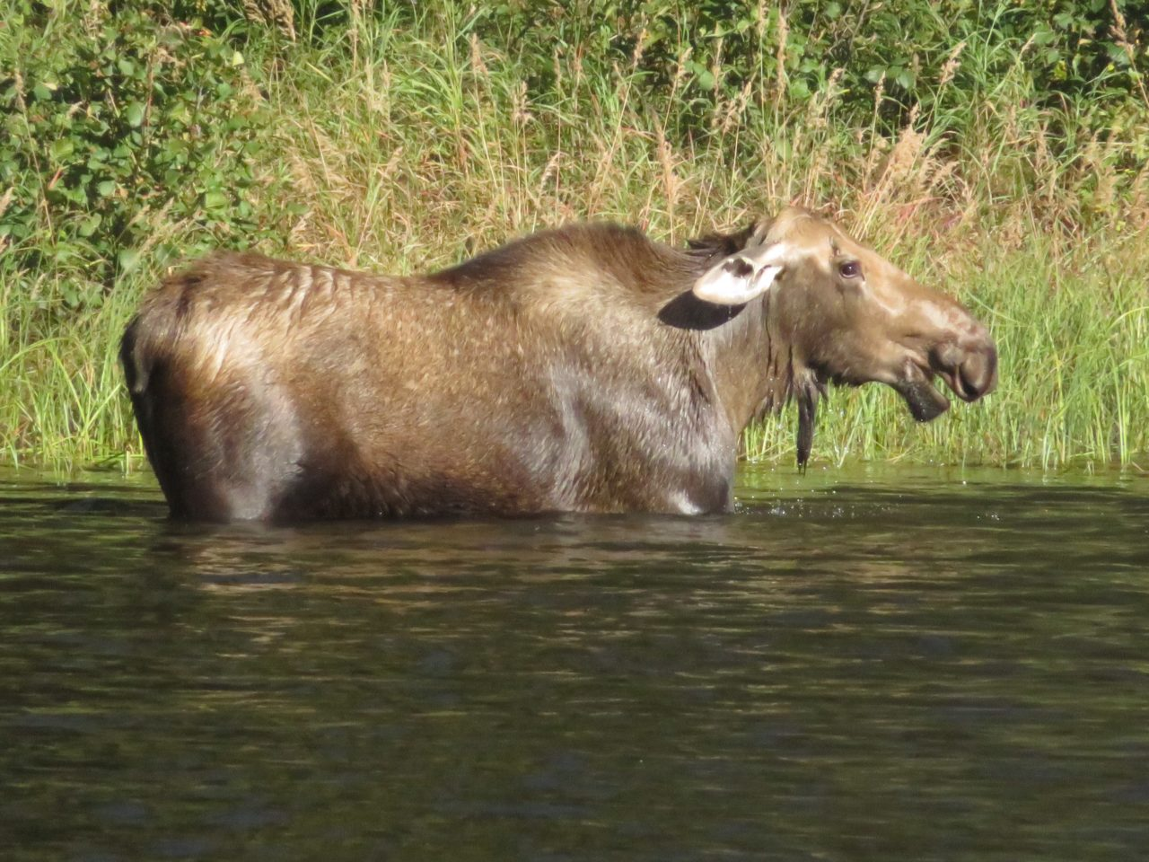 Moose watching during our Alaska Cruise with Princess Cruises