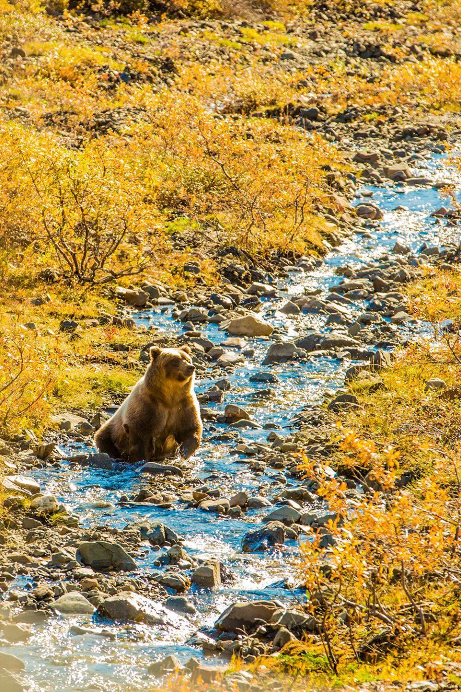 Bear in Denali National Park ~ Alaska Cruise Tour (photo Laura Grier)