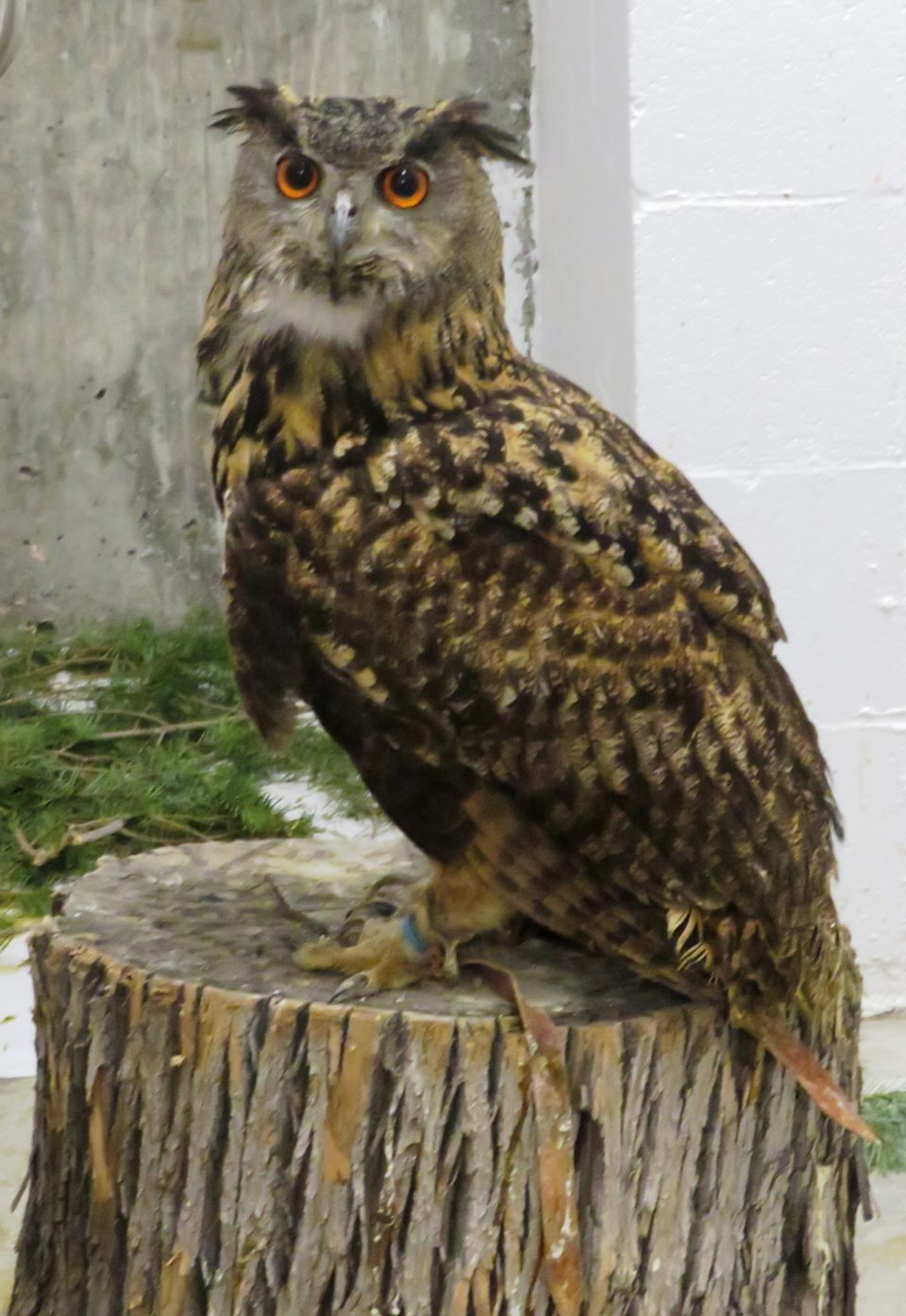 Dalilah, the magnificent and huge Eurasian eagle owl, insisted on meeting us !