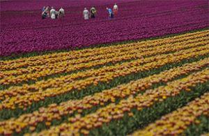 Tulips-Germany