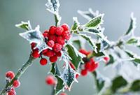 winter-berries-200